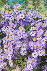Purple daisies growing with flying bees and selective focus