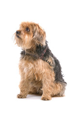 mixed breed (half yorkshire terrier)