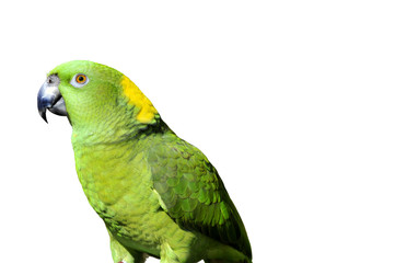Yellow naped parrot: amazona auropalliata, isolated on white