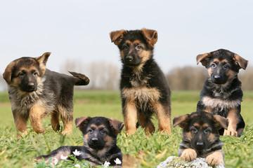 groupe de cinq chiots berger allemand dans la campagne
