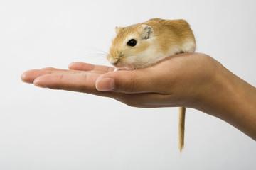 gerbill on hand