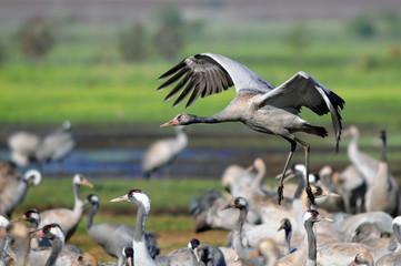 Common Cranes in flight at Ahula Lake, Israel
