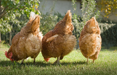 Hens in the farm