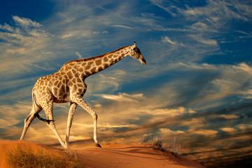 Poster Giraffe Giraffe on sand dune