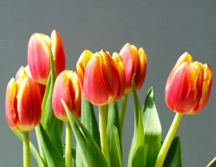 Red and orange tulips on a grey background