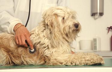 auscultation d'un chien par le vétérinaire