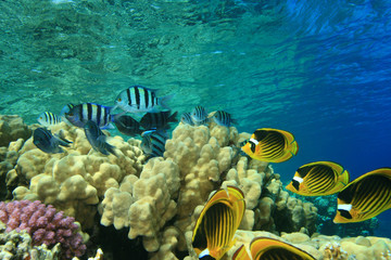 Scissortail Sergeants and Raccoon Butterflyfish on coral reef
