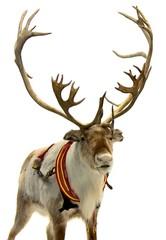 Finnish Reindeer