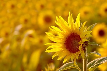 Wall Mural - Sunflower in the field backlit by the light of the setting sun