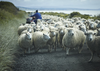 flock of sheep on a road with shepherd