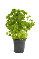 plant of fresh parsley over white background
