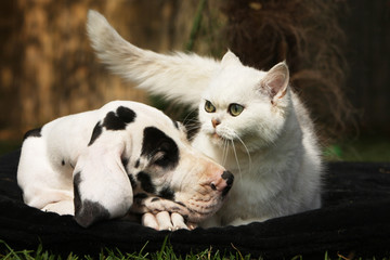 tendresse entre un dogue allemand et un chat blanc