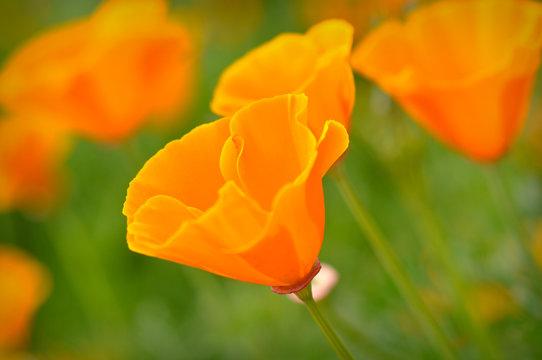 California Spring Poppy Macro Close Up