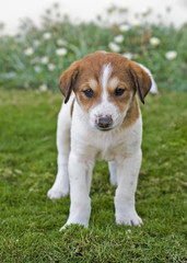 Young beagle puppy in the garden