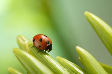 ladybug on flover