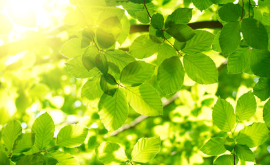 Wall Mural - Green leaves with sun ray.