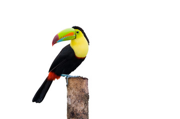 Wall Mural - Keel Billed Toucan, from Central America. Isolated on White.