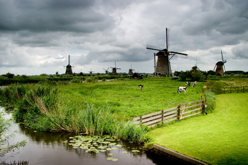 dairy cows and windmills