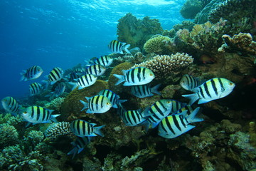 Scissortail Sergeants on coral reef