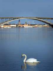 Swan in Stockholm