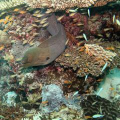 Muräne - Moray eel