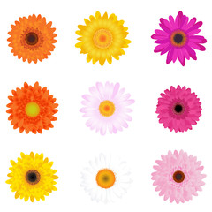 Colourful Daisies