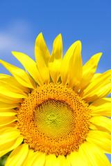 sunflowers, Rhone-Alpes, France