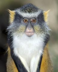 wolf guenon female juvenile gremlin monkey