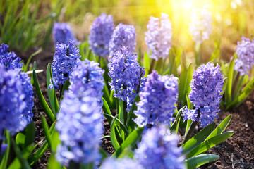 Bluebells  closeup in a garden in spring