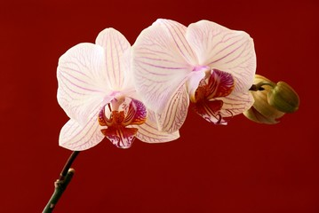 orchid on red background
