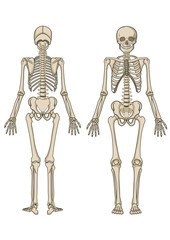 Human skeleton in vector