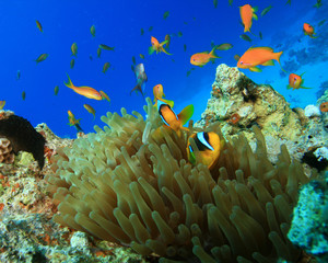 Red Sea Anemonefishes and Lyretail Anthias