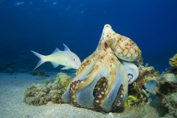 Hunting Octopus and Goatfish