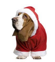 Basset hound in Santa coat, standing and looking away