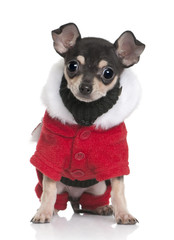 Chihuahua puppy in Santa coat, sitting against white background