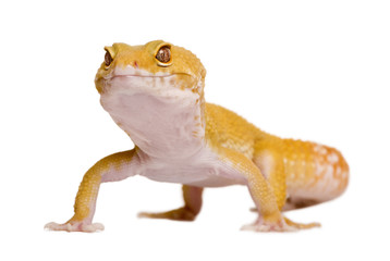 Sunglow Leopard gecko, standing in front of white background