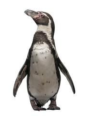 Photo sur Toile Pingouin Front view of Humboldt Penguin, standing