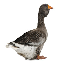 Side view of Toulouse goose, standing against white background