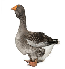 Side view of Toulouse goose in front of white background