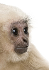 Close-up of Young Pileated Gibbon, 4 months old