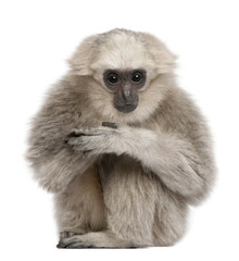 Front view of Young Pileated Gibbon, 1 year old, sitting