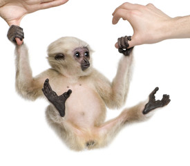 Young Pileated Gibbon, 4 months old, swinging from hands