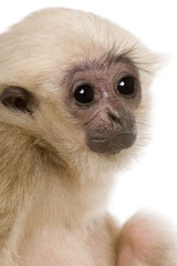 Side view of Young Pileated Gibbon, 4 months old