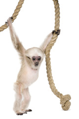 Young Pileated Gibbon, 4 months old, hanging on rope