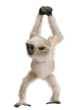 Front view of Young Pileated Gibbon, 4 months old, walking