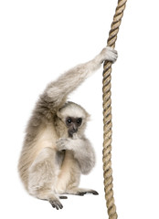 Side view of Young Pileated Gibbon, 1 year old, hanging on rop