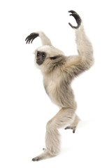 Side view of Young Pileated Gibbon, 1 year old, walking