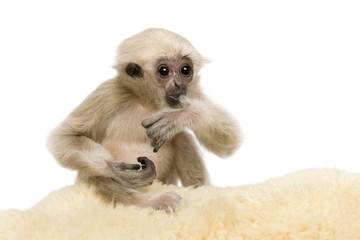 Young Pileated Gibbon, 4 months old, sitting on rug