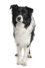Front view of Border collie, standing against white background