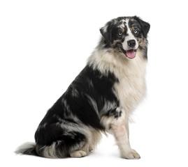 Australian Shepherd dog, sitting in front of white background